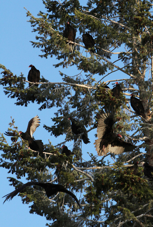 Francisco Kjolseth  |  Tribune file photo Dozens of turkey vultures crowd into a tree along the shores of the B section on the Green River.