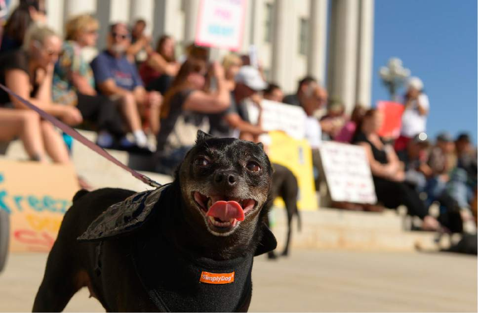 """Leah Hogsten     The Salt Lake Tribune Tia, a Chihuahua dressed as a bat, attended the rally with her owner. The """"Freeze Don't Shoot"""" rally Saturday, Oct. 25, 2014, at the Utah Capitol is part of several marches taking place nationwide to rally against what organizers say is a growing trend of police shooting people's dogs."""