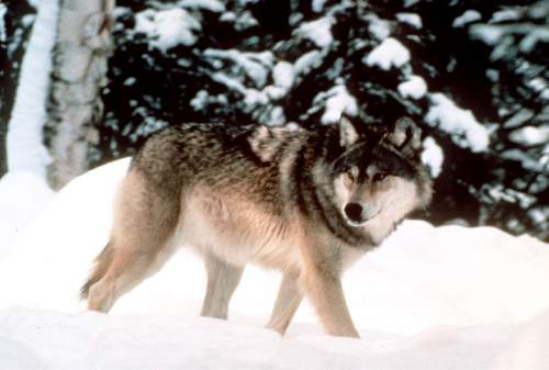FILE - This undated file photo provided by Yellowstone National Park shows a wolf walking through the snow in Yellowstone National Park in Wyoming.  (AP Photo/Yellowstone National Park, File)