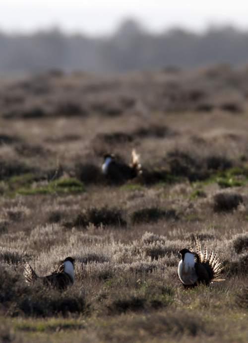 Rick Egan  | The Salt Lake Tribune   Gunnison sage-grouse, strut on a lek near Monticello, Utah, Wednesday, March 22, 2012.