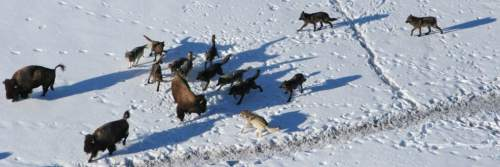 Daniel Stahler  |  Courtesy of NPS  Utah State University and Yellowstone National Park scientists say large wolf packs are more cooperative during hunts of their largest, most difficult prey: bison. In a paper published Nov. 12, 2014, in PLOS ONE, the researchers discuss the cooperative behavior of wolves hunting bison.