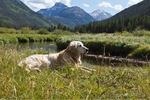 """(Courtesy Stephen Belcher, Companion Golden Retriever Rescue)  Sen. Aaron Osmond, R-South Jordan, is proposing to declare the golden retriever dog breed as the official """"state domestic animal."""""""