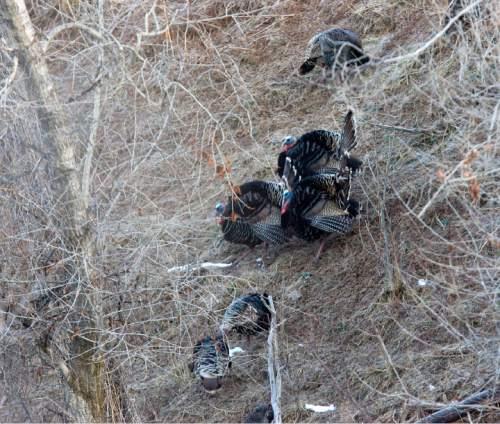 Al Hartmann  |  The Salt Lake Tribune   4/7/2010 Tom turkeys, center, herd females down hill just after dawn outside Mountain Green in Weber Canyon.