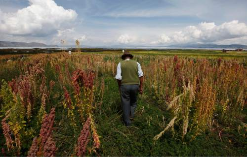 In this Feb. 14, 2014 photo, a traditional Bolivian farmer walks through his fields of organic quinoa in Puerto Perez, Bolivia. A commercial feud between Bolivian and Peruvian quinoa farmers pits Bolivia's traditional organic growers against modern Peruvian agribusinesses that include heavy pesticide users and are on track to overtake Bolivia this year as the top global exporter. (AP Photo/Juan Karita)
