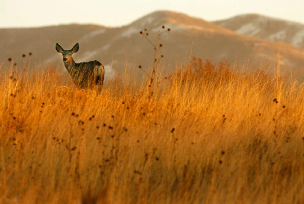 Steve Griffin  |  Tribune file photo A Mule deer stands in a field in Bountiful near 1400 East and 250 North Tuesday Nov 17, 2009.