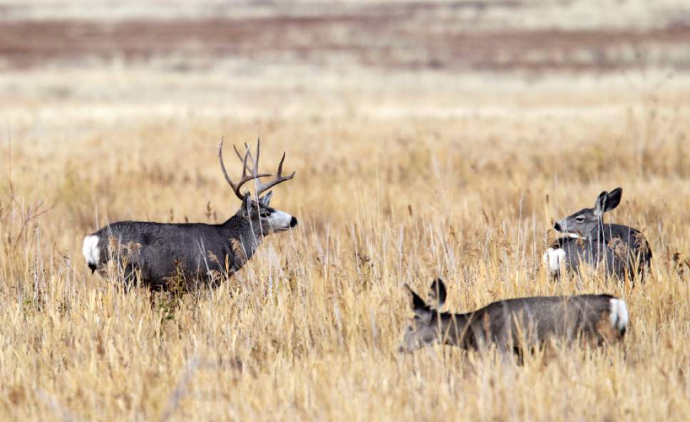 Al Hartmann  |  Tribune file photo A buck Mule Deer looks over two doe near the Fielding Garr Ranch on the east side of Antelope Island.