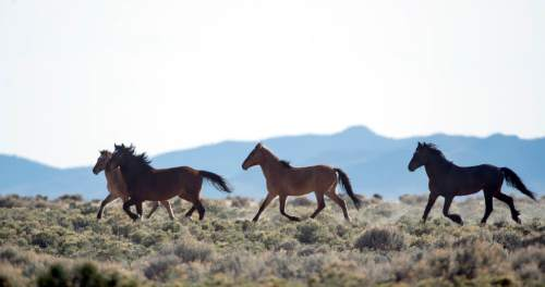 Rick Egan  |  The Salt Lake Tribune  Wild horses, on BLM land northwest of Cedar City,  Wednesday, April 23, 2014.  The BLM intends to remove 100 wild horses this winter that congregate near State Route 21 in Millard County because they pose a threat to traffic safety. These animals belong in the nearby  the Sulphur Herd Management Area, but have been crowded out. BLM is developing a long-term proposal to pare down the Sulphur herd.
