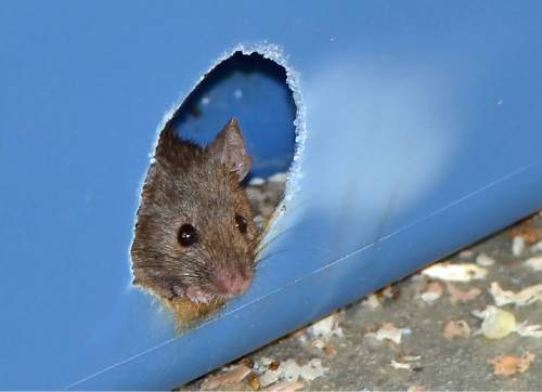 Courtesy  |  Douglas Cornwall, University of Utah  A mouse peers out from a nesting box during a University of Utah study that found the fructose-glucose combination in high-fructose corn syrup is more toxic in mice than the fructose-glucose compound known as sucrose, or table sugar.