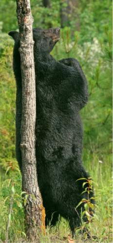 Lynn Chamberlain  |  Utah Division of Wildlife Resources  Utah wildlife biologists are proposing some changes to the black bear hunt in 2015 and will be presenting their ideas to the public at a series of Regional Advisory Council meetings in December.
