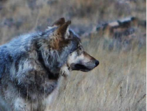 Courtesy     Arizona Game and Fish Department  This wolf was photographed Oct. 27 near the north rim of the Grand Canyon. On Friday, the U.S. Fish and Wildlife confirmed through DNA analysis of its feces that it is a female gray wolf from the Northern Rockies that must have migrated 450 miles through Colorado and/or Utah to reach Arizona.