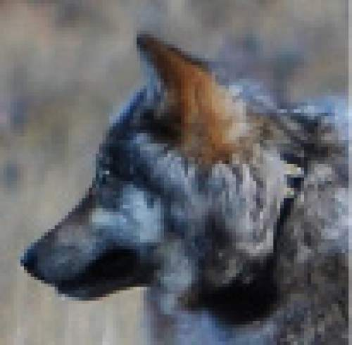 Courtesy of  Arizona Game and Fish Department A wolf was seen near the north rim of the Grand Canyon  in October.
