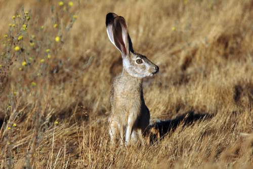 Courtesy  |  Scott Rheam, U.S. Fish and Wildlife Service  In a paper published in the Dec. 23, 2014, issue of Journal of Applied Ecology, Utah State University ecologists say hares and rabbits, such as the Black-tailed Jackrabbit, are cattleís top competitor for forage in Utahís Henry Mountains.