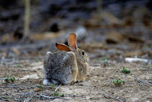 Courtesy  |  Brent Stettler, Utah Division of Wildlife Resources  Pound for pounds, Utah State University ecologists found, Western cottontail rabbits, pictured, jackrabbits and other lagomorphs, eat much more forage in Utah's Henry Mountains than bison.