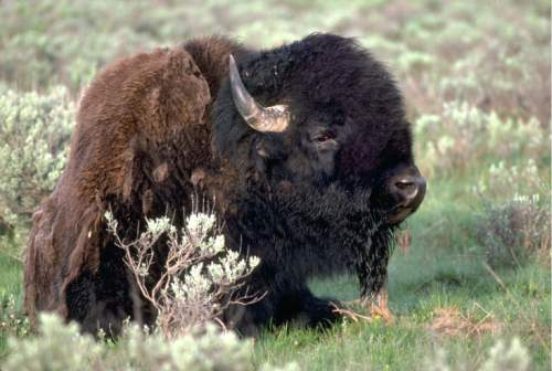 photo courtesy Division of Wildlife Resources  A bison is seen in the Henry Mountains in southeastern Utah.