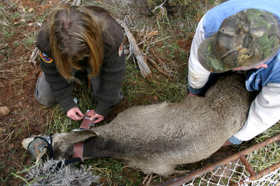 Leslie McFarlane (left), a wildlife disease specialist with the Utah Division of Wildlife Resources, puts a radio collar on a 1 1/2-year old buck mule deer whild wildlife technician Vern Shepardson restrains the buck.  McFarlane is conducting research in the La Sal Mountains near Moab that she hopes will shed light on migration patterns of the deer and the ways that chronic wasting disease is transmitted. Mule deer in the La Sals have shown the highest frequency of chronic wasting disease in the state.  Photo by Lisa Church   Utah Department of Agriculture officials confirmed Friday that a bull elk shot on a private hunting park in northern Utah has tested for the fatal neurological malady known as Chronic Wasting Disease. More than 20 wild deer and two moose stuck in the Broadmouth Canyon hunting park will be killed and tested for CWD. More than 60 elk on a breeding ranch near Blanding will also be killed.