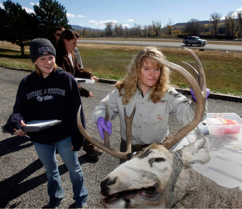 Leslie McFarlane, a Utah Division of Widlife disease specialist wrestles a good-sized buck into place to make an incision in its neck to remove the lymphglands.  The glands are then sent to a lab and tested for chronic wasting disease.  USU wildlife science undergraduate Clarissa Richins , left, takes notes.   This took place at a deer check station near Mountain Green along I-84 near Ogden.  There were several other checkpoints around the state checking deer for the disease.   Hartmann/photo   10/21/06  Utah Department of Agriculture officials confirmed Friday that a bull elk shot on a private hunting park in northern Utah has tested for the fatal neurological malady known as Chronic Wasting Disease. More than 20 wild deer and two moose stuck in the Broadmouth Canyon hunting park will be killed and tested for CWD. More than 60 elk on a breeding ranch near Blanding will also be killed.