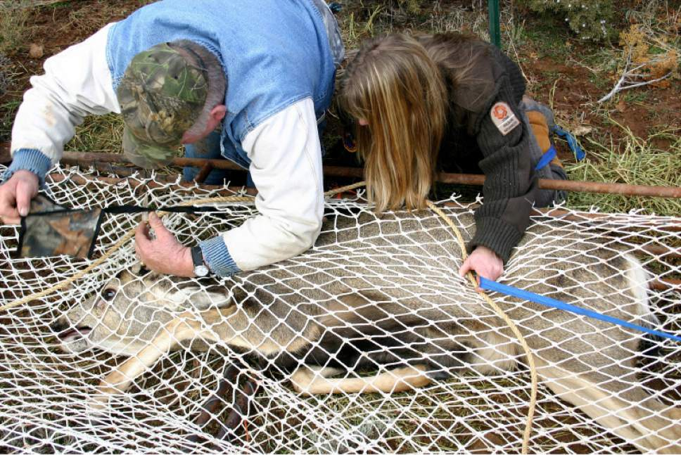 Utah Division of Wildlife Resourceswildlife technician Vern Shepardson attempts to place a blindfold on a trapped buck while Leslie McFarlane (left), a wildlife disease specialist assists.  McFarlane is conducting research in the La Sal Mountains near Moab that she hopes will shed light on migration patterns of the deer and the ways that chronic wasting disease is transmitted. Mule deer in the La Sals have shown the highest frequency of chronic wasting disease in the state.  Photo by Lisa Church   Utah Department of Agriculture officials confirmed Friday that a bull elk shot on a private hunting park in northern Utah has tested for the fatal neurological malady known as Chronic Wasting Disease. More than 20 wild deer and two moose stuck in the Broadmouth Canyon hunting park will be killed and tested for CWD. More than 60 elk on a breeding ranch near Blanding will also be killed.