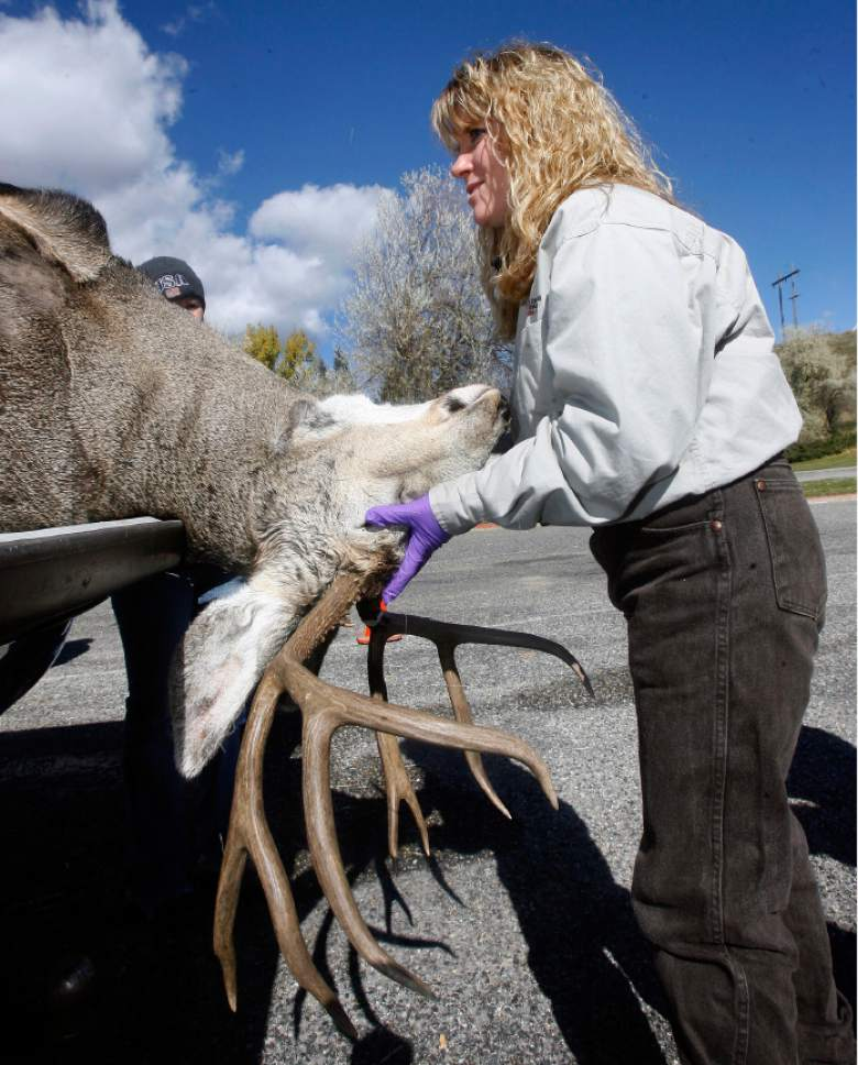 Leslie McFarlane, a Utah Division of Widlife disease specialist wrestles a good-sized buck into place to make an incision in its neck to remove the lymphglands.  The glands are then sent to a lab and tested for chronic wasting disease.  This took place at a deer check station near Mountain Green along I-84 near Ogden.  There were several other checkpoints around the state checking deer for the disease.   Hartmann/photo   10/21/06  Utah Department of Agriculture officials confirmed Friday that a bull elk shot on a private hunting park in northern Utah has tested for the fatal neurological malady known as Chronic Wasting Disease. More than 20 wild deer and two moose stuck in the Broadmouth Canyon hunting park will be killed and tested for CWD. More than 60 elk on a breeding ranch near Blanding will also be killed.