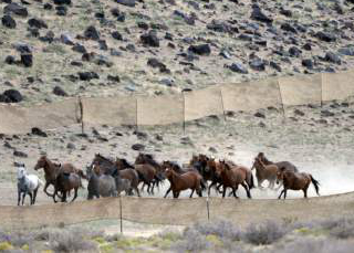 Al Hartmann  |  The Salt Lake Tribune   The BLM used helicopters to steer wild horses into holding pens last July in an effort to remove the animals from state trust lands at Blawn Wash about 35 miles southwest of Milford. Dozens of horses soon returned and Utah is now suing BLM, demanding the agency remove horses from its lands across the West Desert.