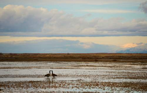 Francisco Kjolseth  |  The Salt Lake Tribune A pair of geese appear to touch beaks as they forage in the shallows of the Great Salt Lake on Thursday, Feb.13, 2014.