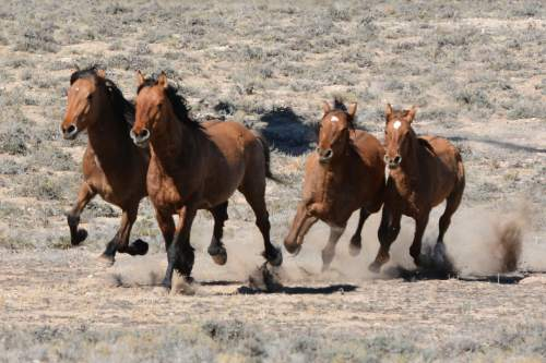 Courtesy  |  Chad Douglas, BLM  Bureau of Land Management officials rounded up 103 horses last week from the Sulphur Herd Management Area. Two wild horses perished during the roundup and two domestic horses were also captured during the event.