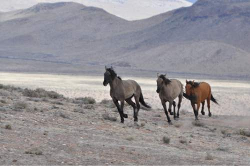 Courtesy  |  Lisa Reid, BLM  Bureau of Land Management officials rounded up 103 horses last week from the Sulphur Herd Management Area. Two wild horses perished during the roundup and two domestic horses were also captured during the event.