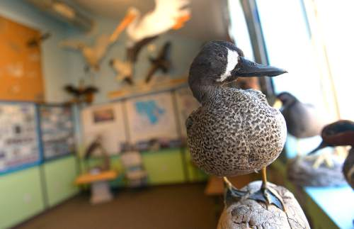 Leah Hogsten     The Salt Lake Tribune A Blue-winged Teal is on display with other water fowl at the Robert N. Hasenyager Great Salt Lake Nature Center. The Utah Legislature appropriated $1.2 million to help the Utah Division of Wildlife Resources to remodel and expand the Robert N. Hasenyager Great Salt Lake Nature Center at Farmington Bay, March 13, 2015.