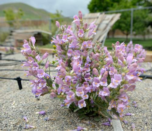 Al Hartmann  |  The Salt Lake Tribune One of several Graham's Beardtongue plants that Red Butte Garden botanists have transplanted in their conservation trial bed are in full bloom Tuesday May 6.   They have taken hold and are now producing some seeds.   The rare desert flower only grows on oil shale outcrops and is proposed for listing under the Endangered Species Act.   Environmental groups plan to sue the U.S. Fish and Wildlife Service over its recent decision to not list Graham's beardtongue, a rare desert flower that grows only near Uinta Basin's oil shale outcrops. Utah officials and the feds say a conservation agreement will ensure the plant's survival if the area's oil shale is strip-mined.