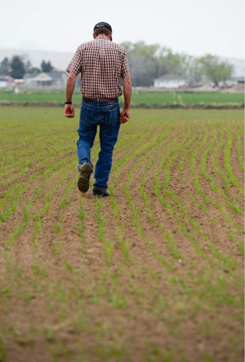 Francisco Kjolseth  |  The Salt Lake Tribune  Neal Briggs, a 5th generation farmer in Syracuse, walks along a 10-acre field of oat and alfalfa that is not yet established and in need of water. The lack of rain and the low snowpack this year will make for a challenging season.