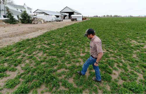 Francisco Kjolseth  |  The Salt Lake Tribune  Neal Briggs, a 5th generation farmer in Syracuse, finds himself alongside many others praying for rain. With 300 acres of primarily alfalfa to grow and some wheat, the low snowpack winter and lack of rain signals a tough season ahead.
