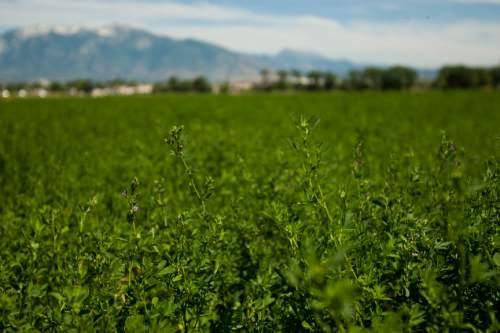 Chris Detrick  |  Tribune file photo An alfalfa field at Darryl Lehmitz's farm in 2009.