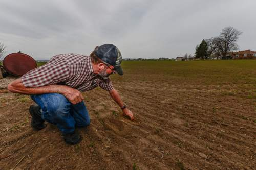 Francisco Kjolseth  |  The Salt Lake Tribune  Neal Briggs, a 5th generation farmer in Syracuse, pulls up dry dirt where oat waits for rain in order to take hold and allow alfalfa to grow in with it. With 300 acres of primarily alfalfa to grow and some wheat, the low snowpack winter and lack of rain signals a tough season ahead.
