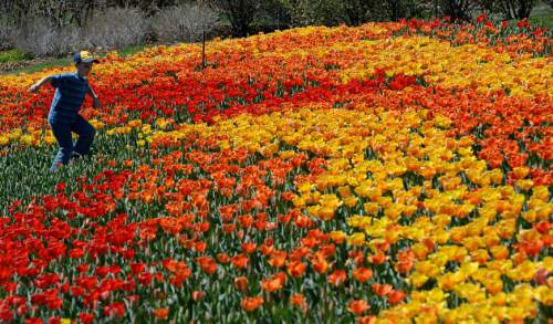 Francisco Kjolseth  |  The Salt Lake Tribune  Thanksgiving Point's annual Tulip Festival opens to the public on Friday, April 10, 2015, boasting 250,000 tulips over 55 acres and is open daily (except Sundays) through May 9.