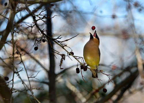 Scott Sommerdorf   |  The Salt Lake Tribune Tribune photographer Scott Sommerdorf won an honorable mention in the National Press Photographers Association's Best of Photojournalism contest for this image of a cedar waxwing gulping a dried berry in Holladay in March 2014.