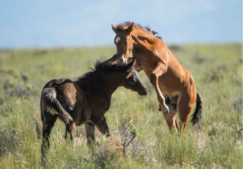 Rick Egan  |  The Salt Lake Tribune  Foals play together in the Onaqui wild horse herd, about 60 miles southwest of Tooele near Simpson Springs, Thursday June 5, 2014.