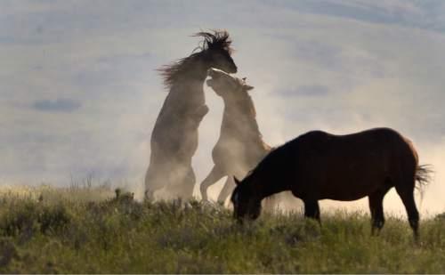 Rick Egan  |  The Salt Lake Tribune  Fighting wild horse exhibit dominance behavior in the Onaqui wild horse herd, about 60 miles southwest of Tooele near Simpson Springs, Thursday June 5, 2014.