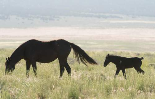 Rick Egan  |  The Salt Lake Tribune  A foal walks with it's mother in the Onaqui wild horse herd about 60 miles southwest of Tooele near Simpson Springs, Thursday June 5, 2014.