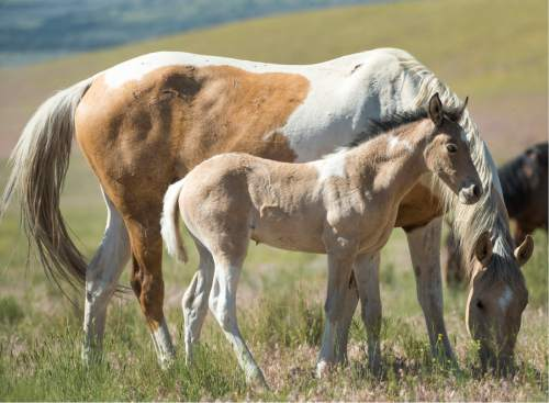 Rick Egan  |  The Salt Lake Tribune  A foal and its mother in the Onaqui wild horse herd, about 60 miles southwest of Tooele near Simpson Springs, Thursday June 5, 2014.