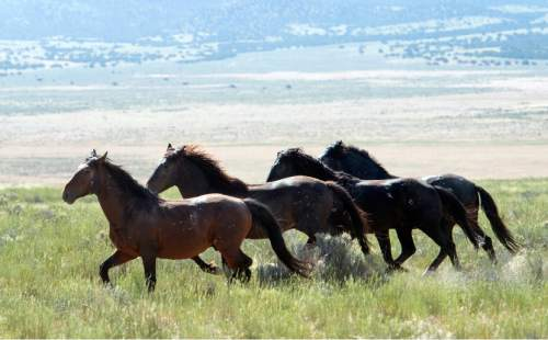 Rick Egan  |  The Salt Lake Tribune  Wild Horses in the Onaqui herd about 60 miles southwest of Tooele near Simpson Springs, Thursday June 5, 2014.