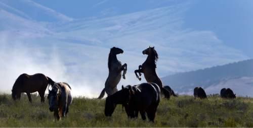 Rick Egan  |  The Salt Lake Tribune  Horses from the Onaqui wild horse herd about 60 miles southwest of Tooele near Simpson Springs, Thursday June 5, 2014.