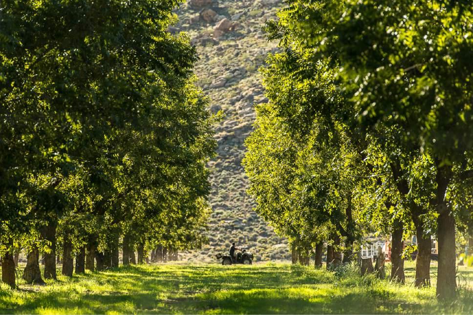 Trent Nelson  |  The Salt Lake Tribune Southern Utah Pecan Ranch, near Hurricane, Wednesday September 24, 2014.
