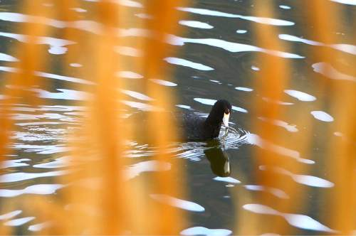 Leah Hogsten  |  The Salt Lake Tribune An American Coot in the waters around Saltair. The Jordan Valley Water Conservancy District has secured permission to dump 1.5 million gallons per day of wastewater from its new reverse osmosis plant into the Great Salt Lake. This waste is laden with selenium, a contaminant that is accumulating in the lake and building up in the tissue of waterfowl,  Friday, May 15, 2015.