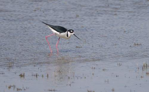 Leah Hogsten  |  The Salt Lake Tribune A Black-necked Stilt in the waters around Saltair.  The Jordan Valley Water Conservancy District has secured permission to dump 1.5 million gallons per day of wastewater from its new reverse osmosis plant into the Great Salt Lake. This waste is laden with selenium, a contaminant that is accumulating in the lake and building up in the tissue of waterfowl,  Friday, May 15, 2015.