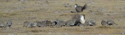 Francisco Kjolseth  |  The Salt Lake Tribune  Greater sage grouse during mating season on a lek near Bear Lake in March.
