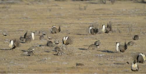 Francisco Kjolseth  |  The Salt Lake Tribune  Greater sage grouse during mating season on a lek near Bear Lake March 25, 2015.