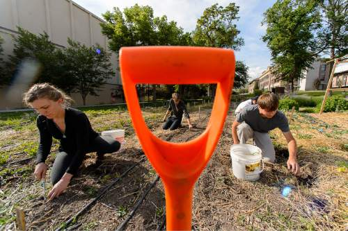 "Trent Nelson  |  The Salt Lake Tribune Marykate Glenn, Matthew Briggs, and Steven Dama at work in the Edible Campus Gardens at the University of Utah, Thursday June 4, 2015. The University is pledging to put 20 percent of its food budget toward ""real food"" by 2020. The state's flagship school of 30,000 joining dozens of campuses nationwide in a ""Real Food Challenge."" Right now, estimate leaders of a U. student group estimate that about 11 percent of U. food is ""real,"" meaning it is local, humane and tended by workers who are paid fair wages. The U. buys produce from local farms, as well as on-campus gardens."