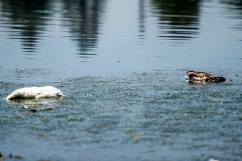 Chris Detrick  |  The Salt Lake Tribune Dead ducks in the pond at Sugar House Park Tuesday June 23, 2015.