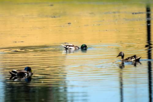 Chris Detrick  |  The Salt Lake Tribune Ducks swim in the pond at Sugar House Park Tuesday June 23, 2015.