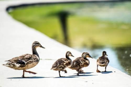 Chris Detrick  |  The Salt Lake Tribune Ducks near the pond at Sugar House Park Tuesday June 23, 2015.