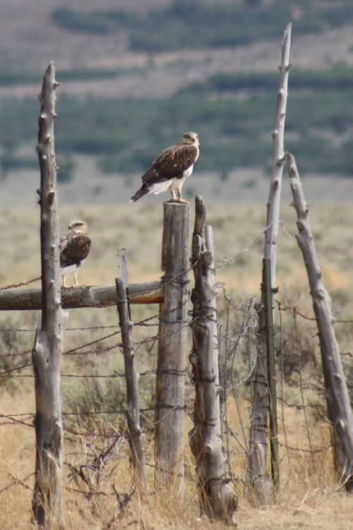 Courtesy  |  Candice Fitches  A sample photo of two ferruginous hawks, which are federally protected birds.